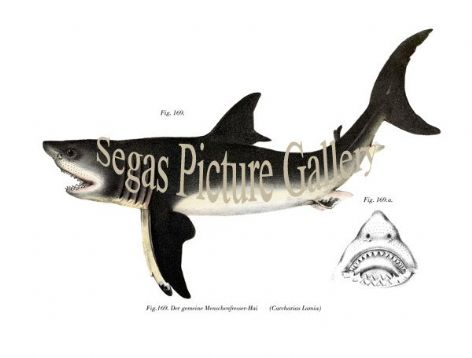 Fine art print of the Common man-eater shark